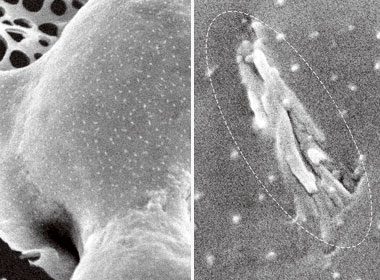 Cell membranes before (left) and after nanotube spearing. Photograph: Courtesy of Zhifeng Ren