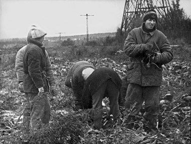 The author, at right, with fellow university students, picking potatoes. Photograph: Aleksandr Golovkin